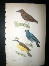 Cuvier C1835 Antique Hand Col Bird Print. Fly Catcher, 15